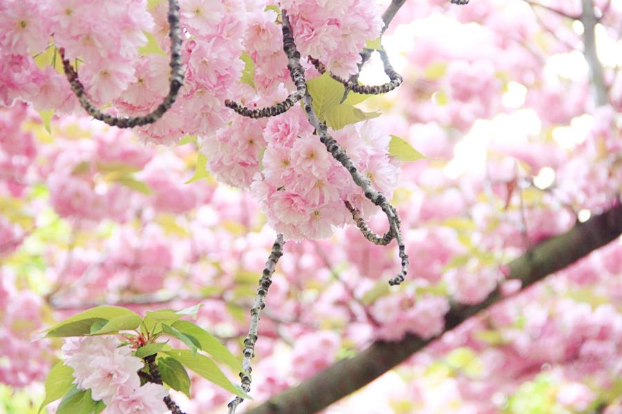 cherry-blossom-6