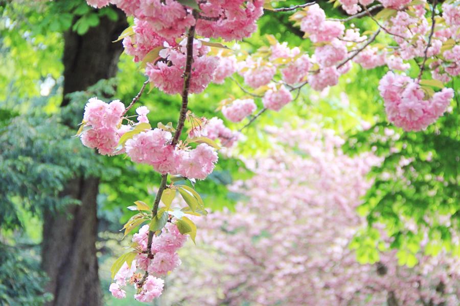 cherry-blossom-7